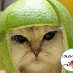 chat au casque citron