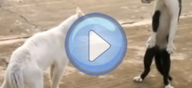 Vidéo : Le chat cobra