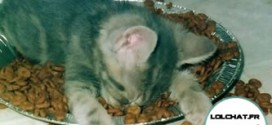 Chaton qui s'endort sur ses croquettes