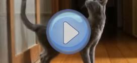 Vidéo : Le chat Bleu Russe qui veut qu'on lui ouvre la porte