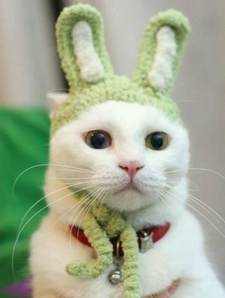 chat d guis en lapin   lol chat   images photos et