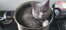Un chat British Shorthair dans une casserole !