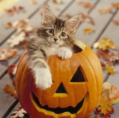 Un Maine Coon dans une citrouille d'Halloween