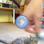 Vidéo d'un chat qui rapporte la balle comme un chien
