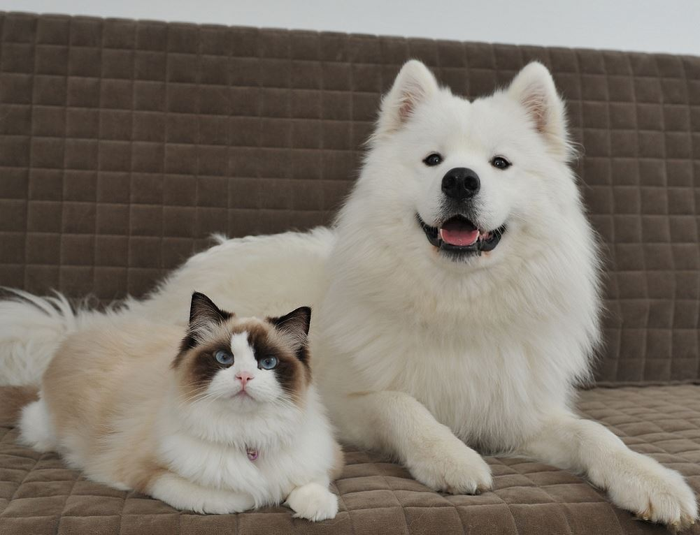 un chat ragdoll et un chien samoyede meilleurs amis. Black Bedroom Furniture Sets. Home Design Ideas
