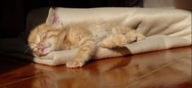 Chaton très mignon qui dort dans une couverture