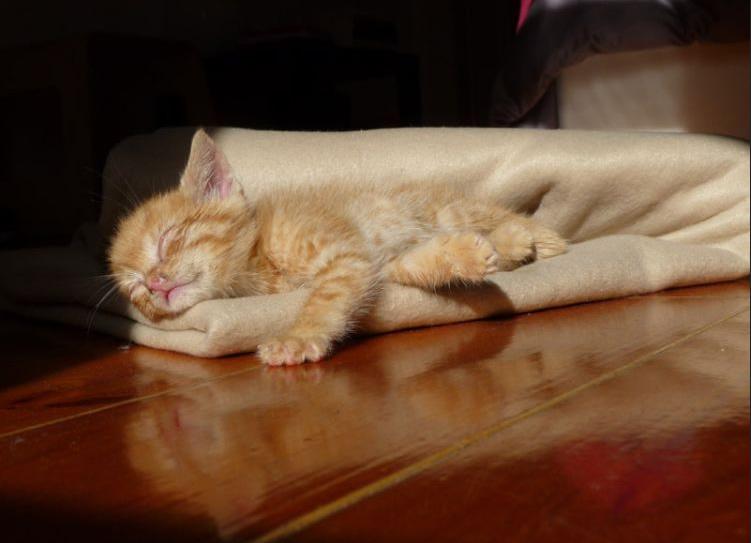 Chaton qui dort dans une couverture