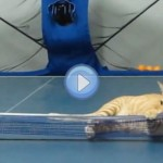 Vidéo d'un chat qui joue au Ping Pong