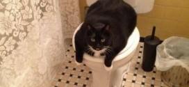 Le gros chat qui s'accapare les toilettes
