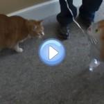 Vidéo du chat qui attaque un ballon