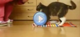 Vidéo d'un chat dressé très intelligent !