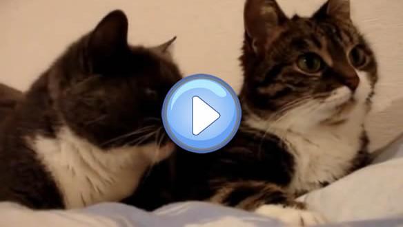 Vidéo de deux chats qui se parlent