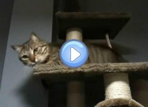 Vidéo du chat qui devient tout fou sur son arbre à chat