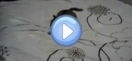 Vidéo d'un chat fou de son laser