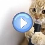 Vidéo d'un chat qui joue avec un aspirateur !