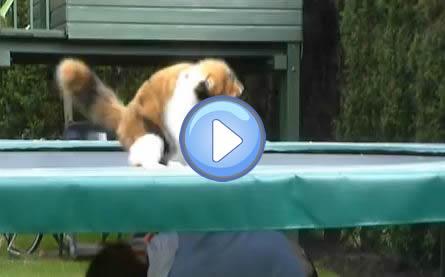 Vidéo d'un chat qui joue sur un trampoline