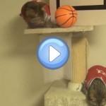 Vidéo de chats qui jouent au basket ball ! De vrais sportifs !