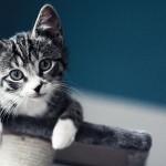 Magnifique chaton gris sur un arbre à chat