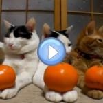 Vidéo des 3 chats et 6 oranges : de vrais anges !