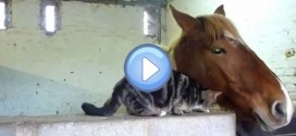 Vidéo d'un chat et d'un cheval qui se font des calins : trop mignon !