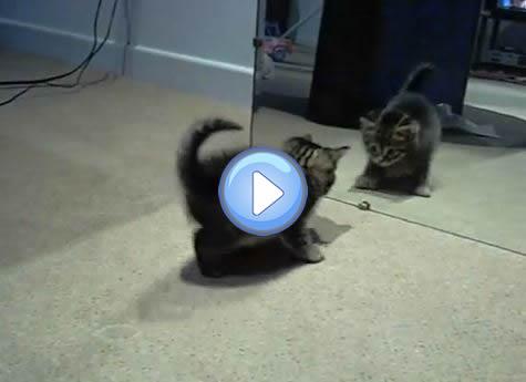 Vidéo du chaton qui devient fou lorsqu'il voit son reflet