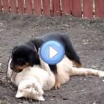 Vidéo d'un chiot Rottweiler et d'un chat qui jouent ensemble : trop chou