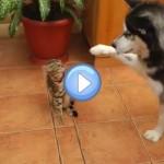 Vidéo d'un husky qui veut jouer avec un chat Bengal