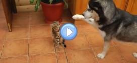 Vidéo du husky qui veut jouer avec un chat Bengal