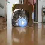 Vidéo de Maru, le chat star qui aime courir dans des boites !