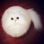 Le chat blanc qui est une vraie boule de poils - trop marrant