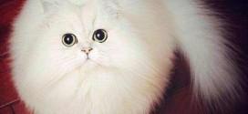 Le chat blanc qui est une vraie boule de poils – trop marrant