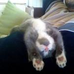 Le chaton qui dort les pattes en l'air : il est à l'aise