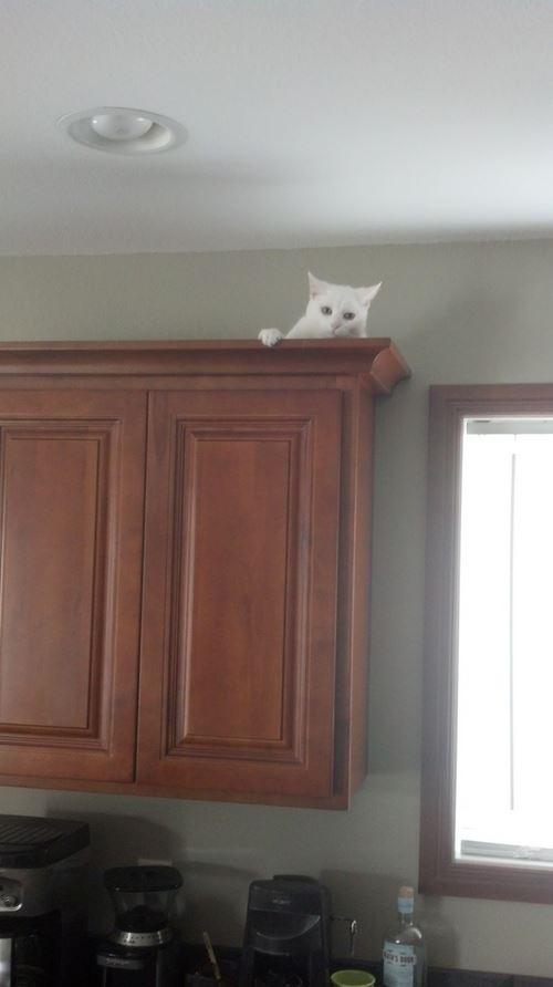Le chat qui se cache au dessus des meubles : un ninja acrobate !