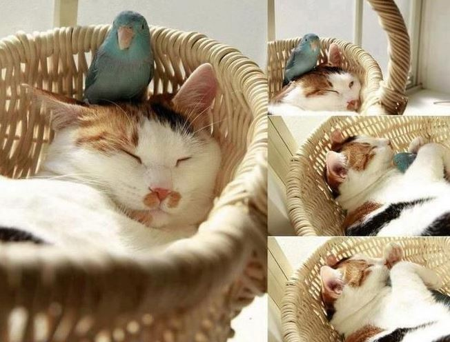 Un chat et un oiseau qui dorment ensemble !