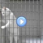 Vidéo de Chamallow, le chat Marseillais roi de l'évasion