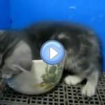 Vidéo du chaton qui s'endort dans une tasse - trop mignon