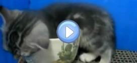 Vidéo du chaton qui s'endort dans une tasse – trop mignon