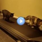 Vidéo de deux chatons qui font du sport sur un tapis roulant : c'est dingue !