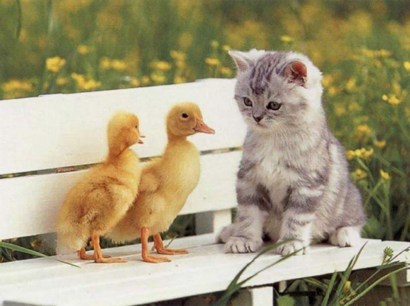 Le chat sur un banc avec des canetons