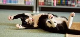 Le chat qui joue sur le dos et qui nous tire la langue