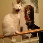 Le chat pas content devant un poster de chien