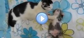 Video d'une chatte qui réconforte son chaton pour qu'il s'endorme : trop chou !