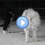 Vidéo de chiens avec des chatons : trop mignons