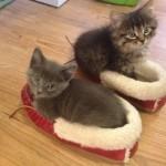 Les chatons dans des pantoufles