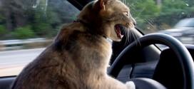 Le chat fou au volant d'une voiture