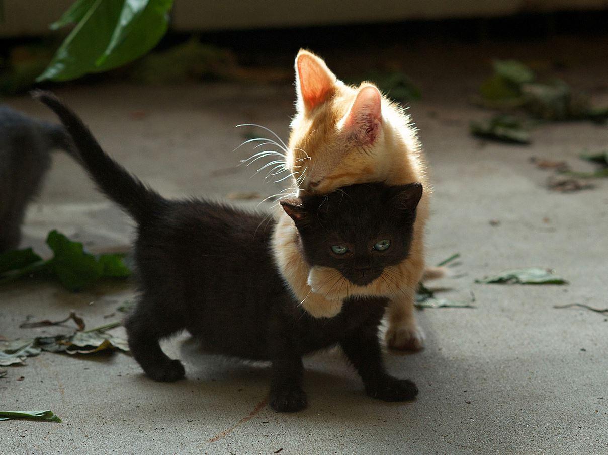 Deux chats qui se font un calin  trop mignon !