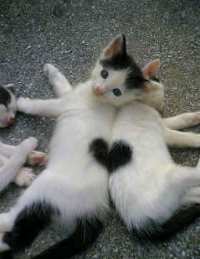 Deux chats dont le pelage forme un coeur  trop chou !