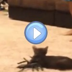 chat-peur-araignee