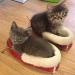 des chatons dans des chaussons
