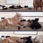 une chèvre se cache au milieu de chats